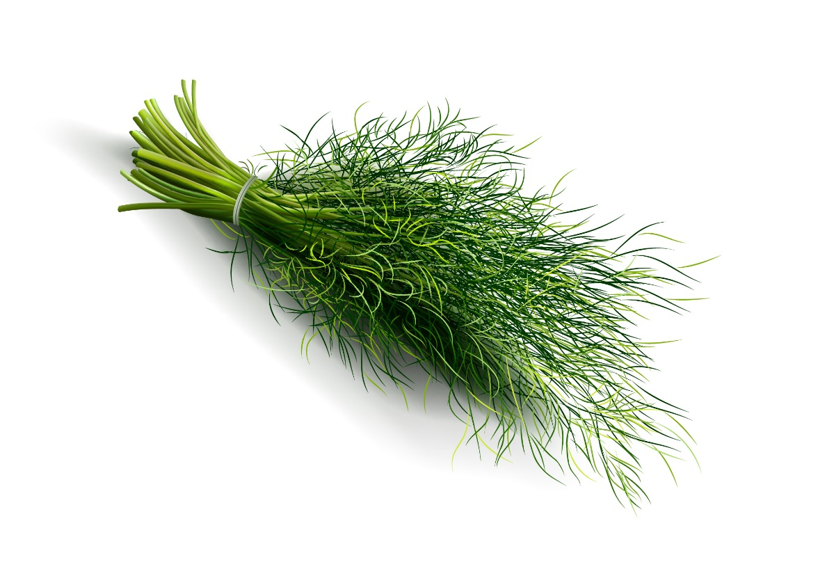Dill, herb