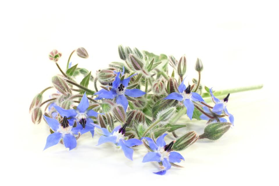 Borage, herb